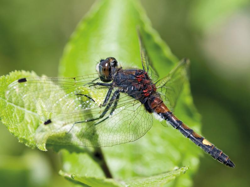 CUDREFIN (VD): nouvelle espèce de libellule à la Grande Cariçaie
